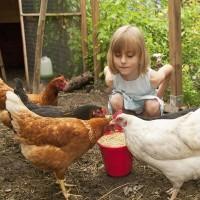 Fütterung Hühner